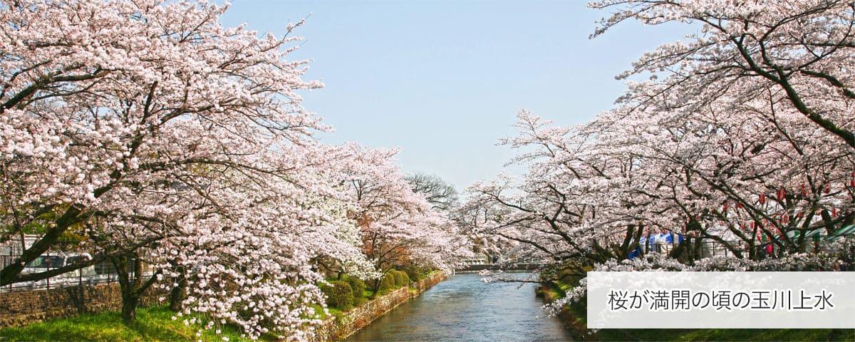 桜の玉川上水